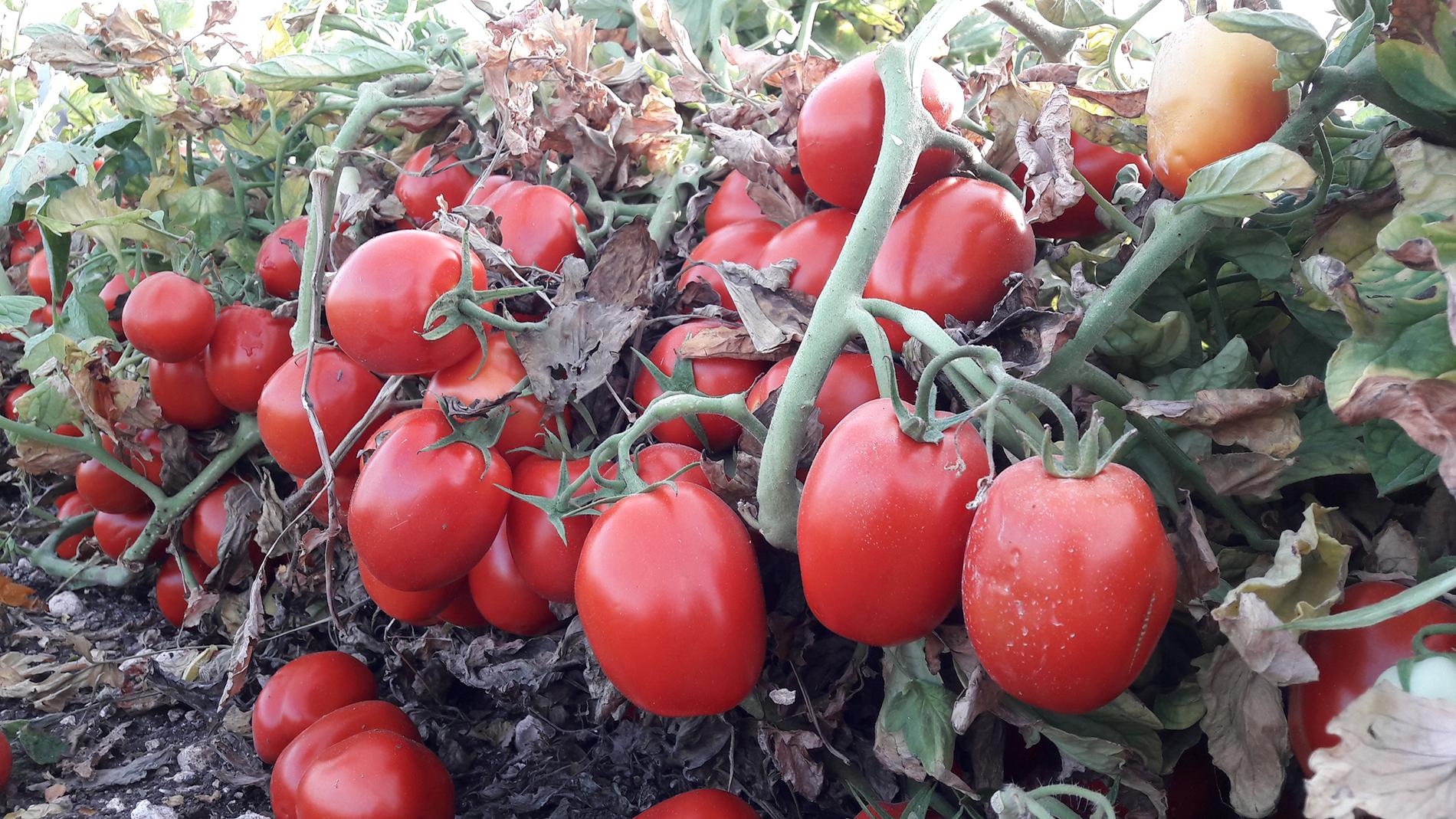 Tomate de Industria: cultivo de hoy con muy buenas expectativas de futuro